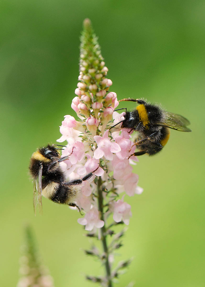 Bumblebees on Pink Toadflax