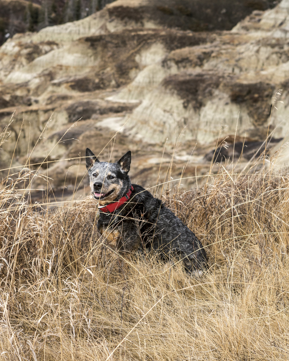 Max, our three legged blue heeler, sitting in the grass on the edge of Horseshoe Canyon