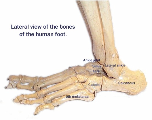 Side View of Foot Bones Side View of The Foot – Cuboid