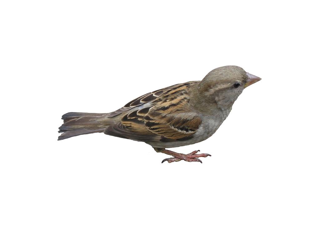 bigstock_An_Isolated_Sparrow_116770.jpg