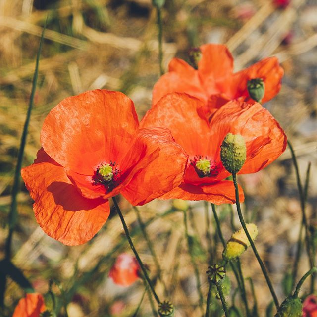 Came acoss a bunch of Poppies when I was out walking today and i couldn't help but stop and think about a good man who passed away recently.  DT you had a bigger influence on my early career than you ever knew, for that I will always be grateful.  Rest In Peace my friend.......