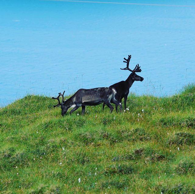 Did you hear something?........ #reindeerwatching #norway #glampingaroundeurope rope #arcticcircle #tromso #nordkapp #northcape #62degreesnorth