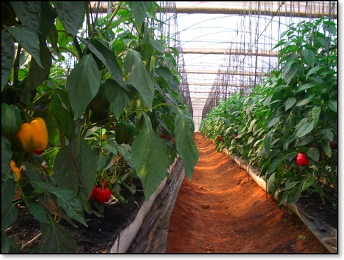 Green House grown bell peppers.jpg