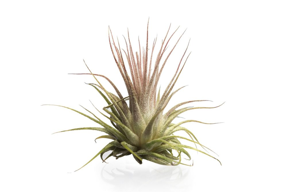 Ionantha - Somewhere in-between, Ionantha and Scaposa plants have a moderately sized leaf. They'll need to be soaked for two hours once a week, and heavily misted on the off days.