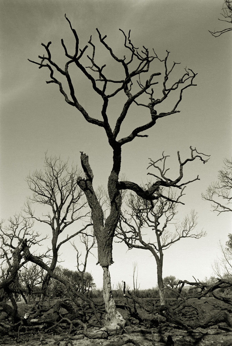 Cork Tree, Sotogrande 1994.jpg