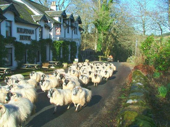 Rush hour in Kilfinan