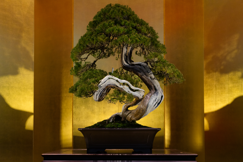 For Those That Donu0027t Know U0027Bonsaiu0027 Is A Traditional Japanese Style Of Tree  Cultivation That Grows Ornamental Trees That Are Dwarved Versions Of Full  Sized ...
