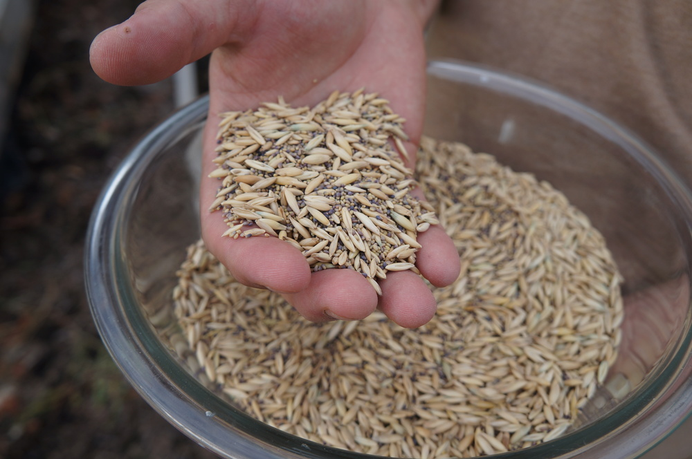 Wheat and Clover seeds