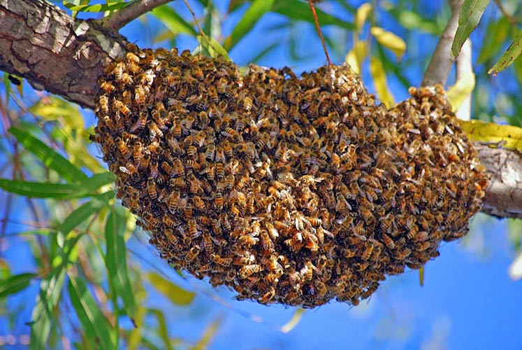 I did not have any time to take any picture, so this isn't our swarm, but this is basically what it looked like...
