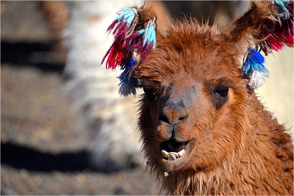 Llama who didn't get braces