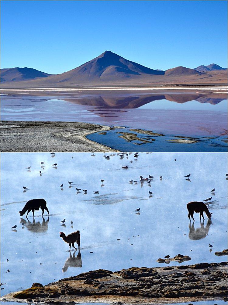 Llamas getting their morning water.