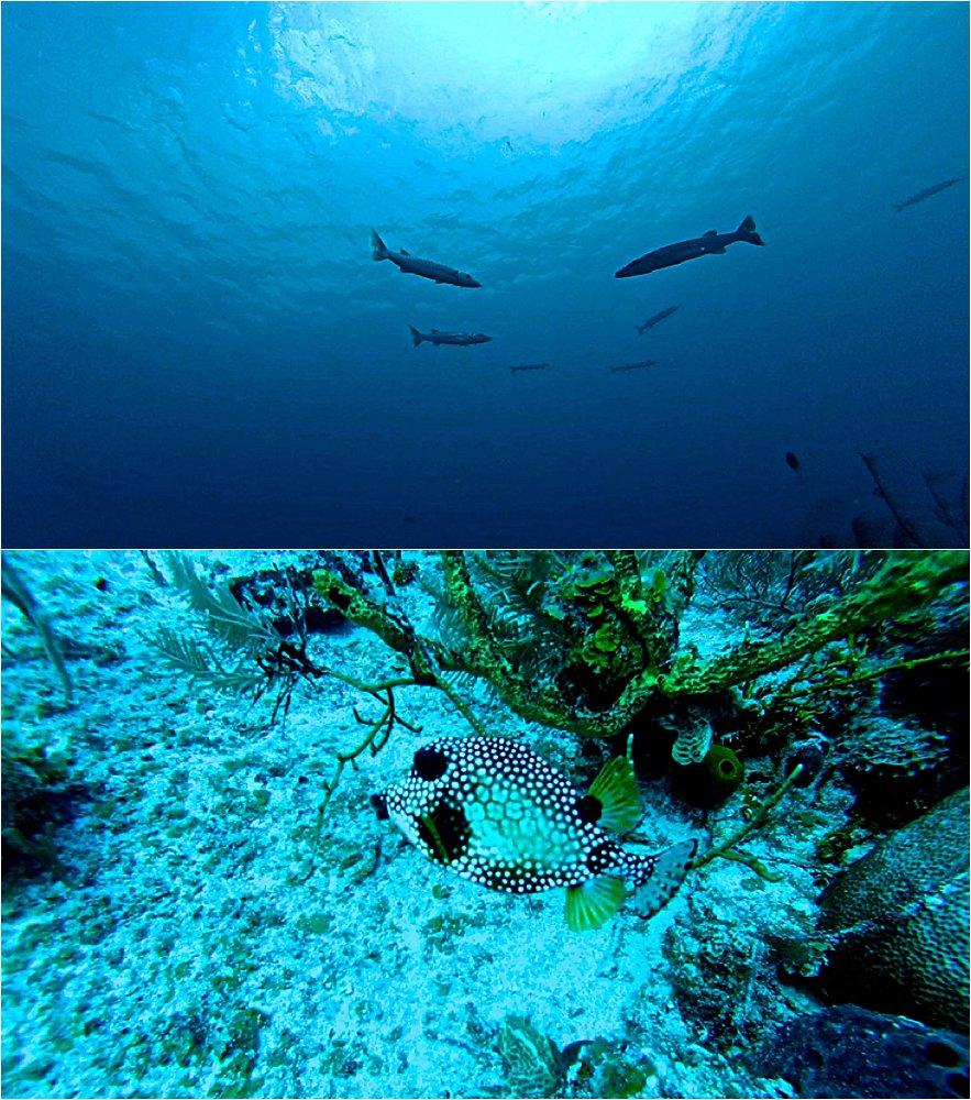 Barracudas swimming above us and a beautiful boxfish.