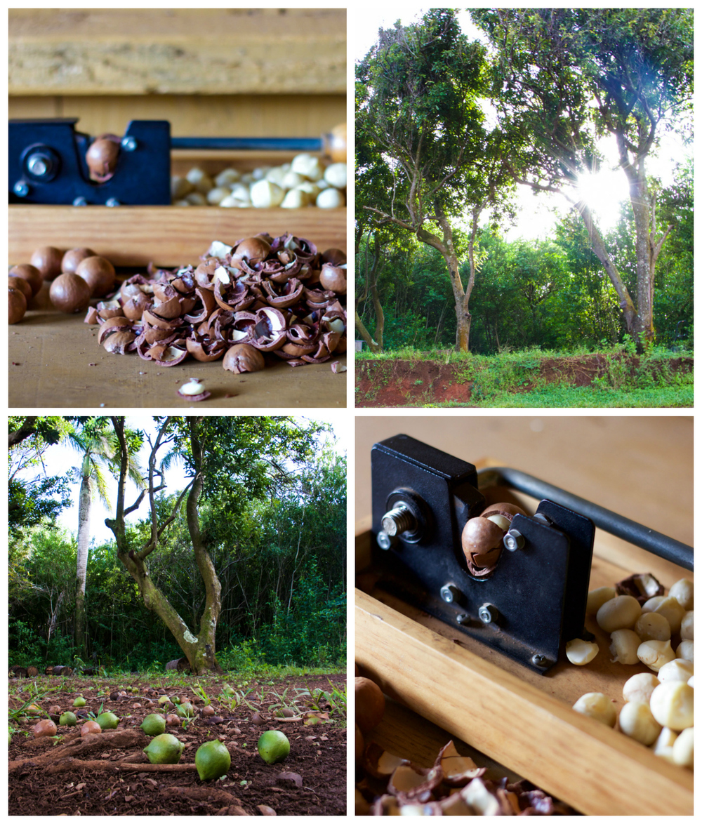 Macadamia trees, and the very useful macadamia nut cracker
