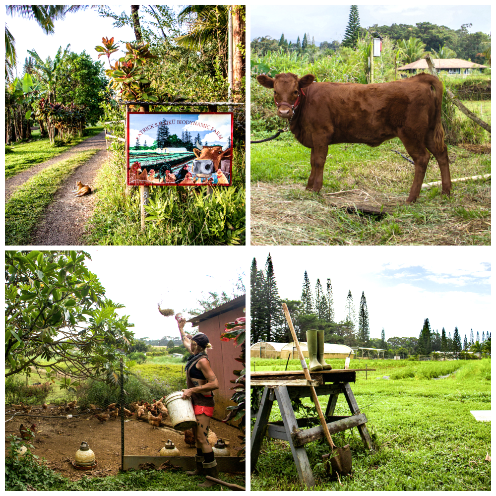 clockwise from top right: the entrance to the farm, rosie the cow, danae feeding the chickens, and another view of the farm.