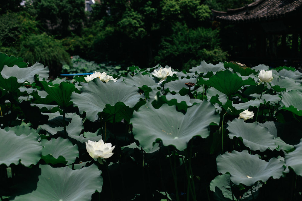 lesycomore-hangzhou-china-lotus