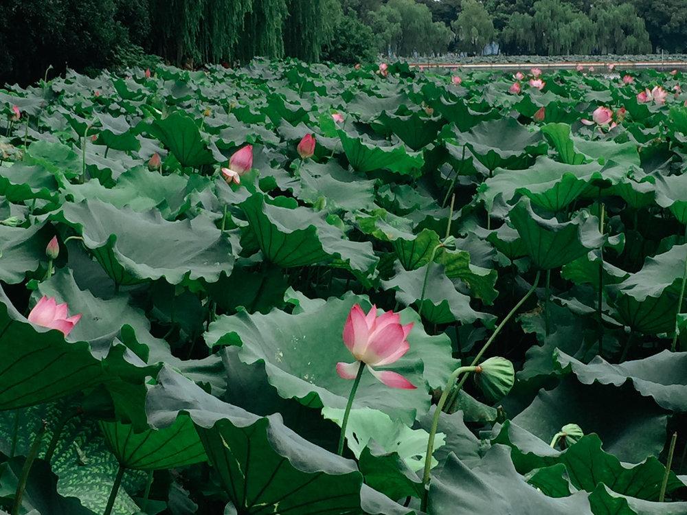 hangzhou-westlake-lotus-lesycomore