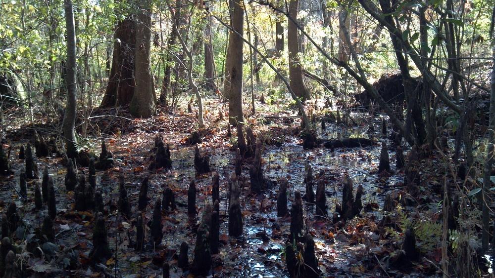 Cypress swamp ( Taxiodium distichum ) in Brunswick County, North Carolina