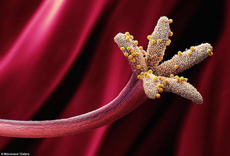 Pollen on Stigma