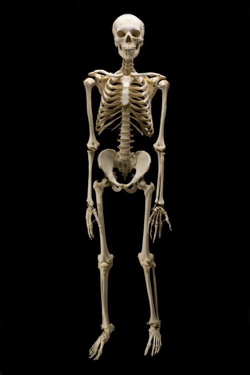 THE SKELETON OF A HUMAN BODY ACT AS A FRAMEWORK FOR MUSCLES & OTHER TISSUES