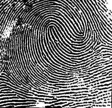 fingerprint - double loop .jpg