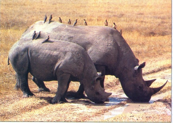 Black-rhinoceroses-and-birds.jpg