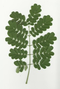 double compound leaf.jpg