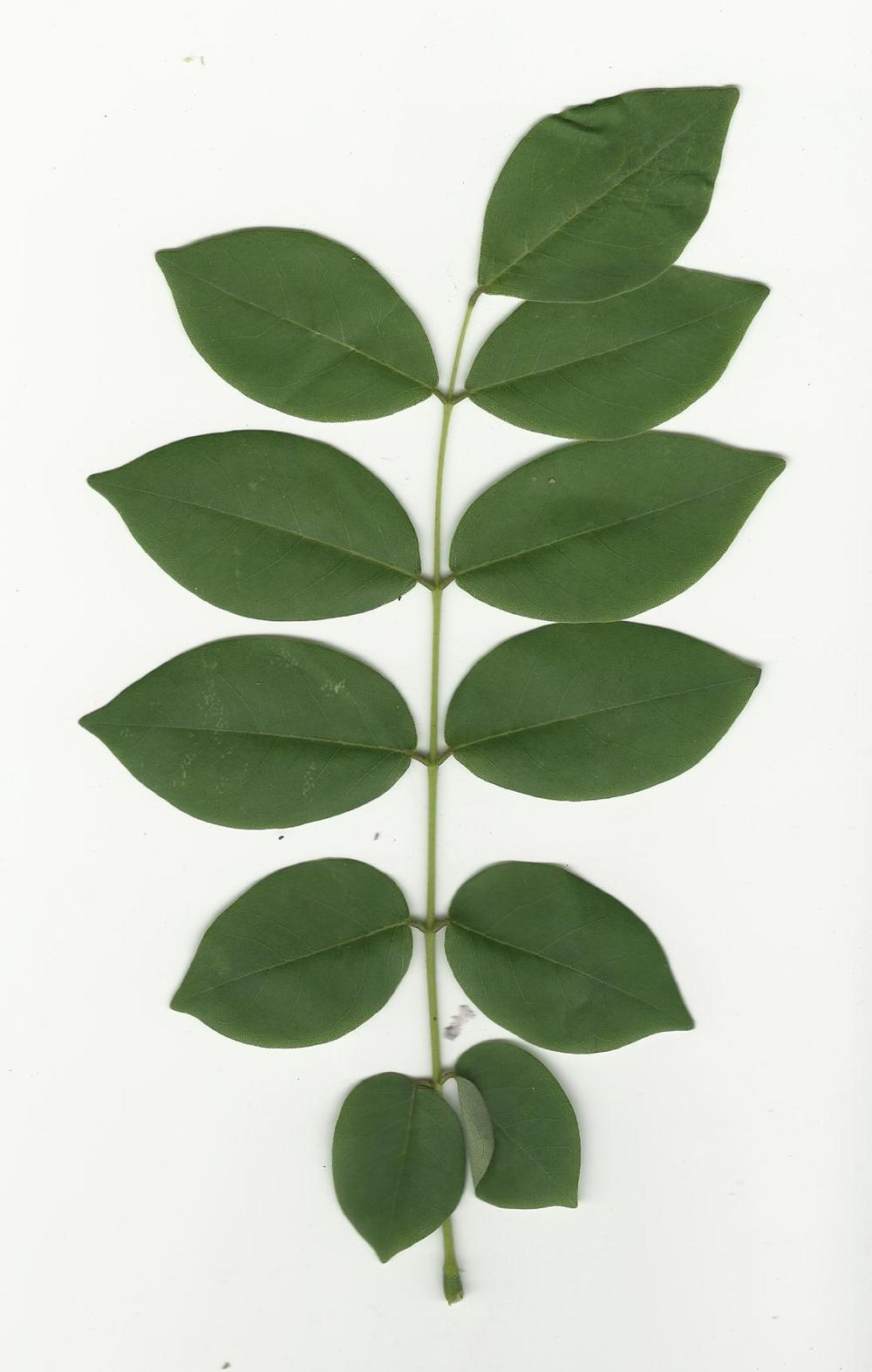 compound leaf.jpg