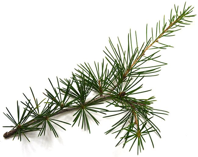 needle leaf.jpg