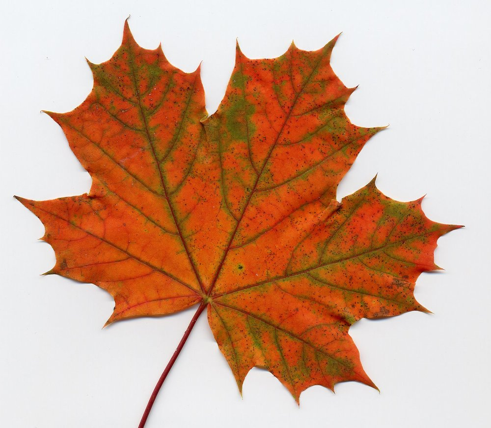 maple-leaf.jpg