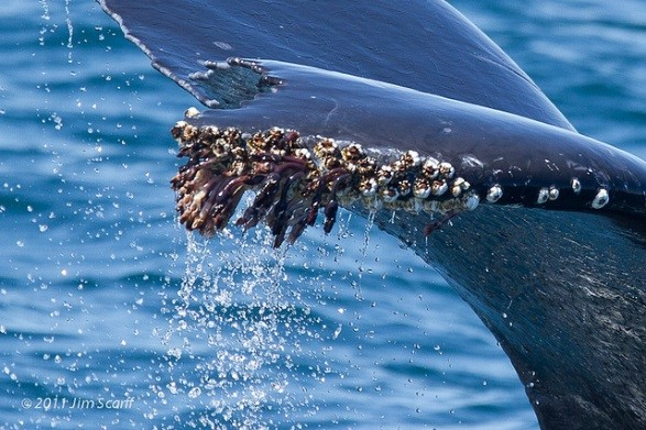 barnacles-whale-tail.jpg