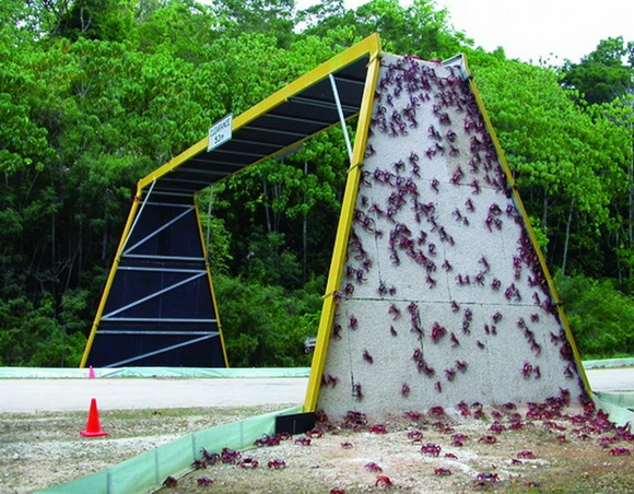 eco-bridge-red-crabs-climb-over-an-overpass-to-cross-a-road-on-christmas-island-during-their-migration-christmas-island-national-park-australia.jpg