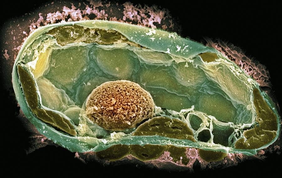 plant cell.jpg