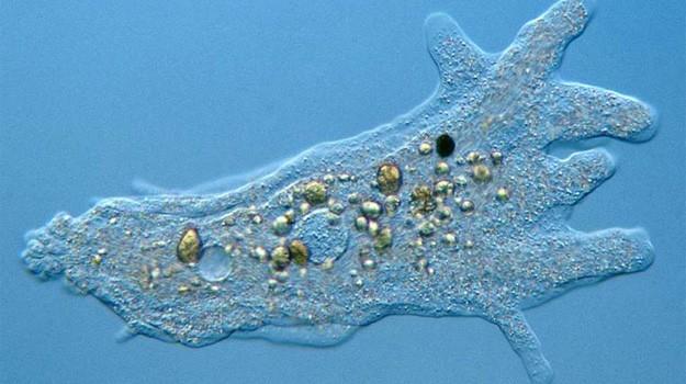 amoeba-625x350.jpg