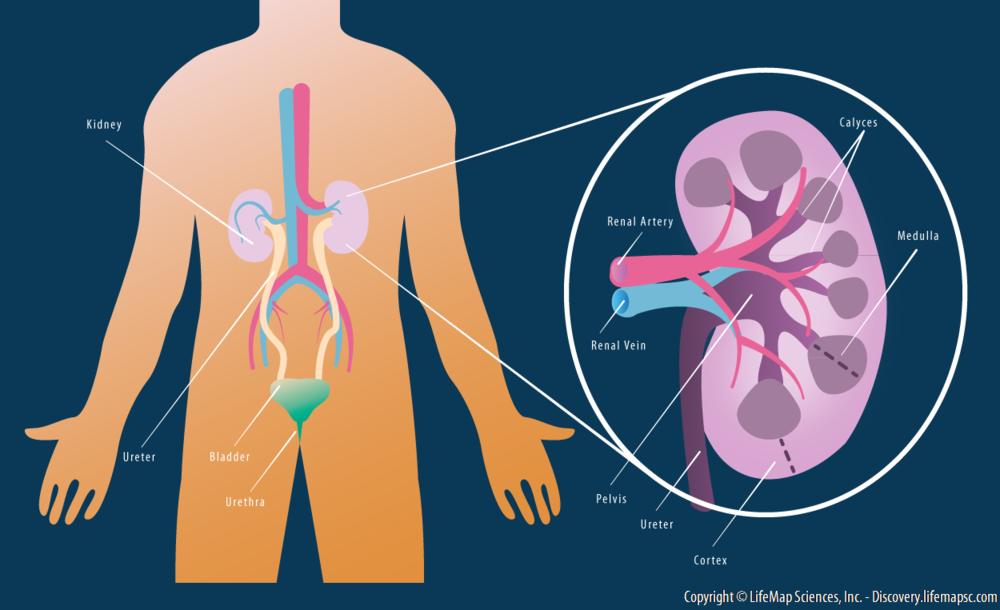 Kidney_Anatomy.png