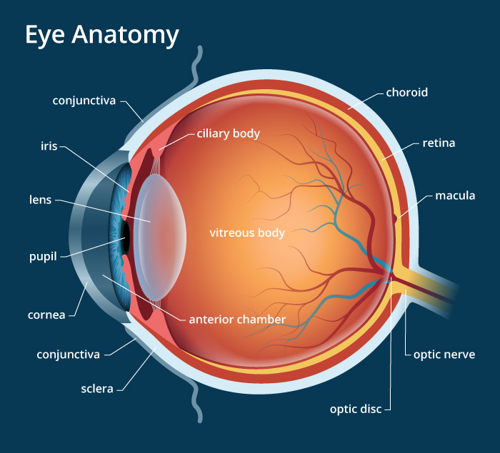 eye_anatomy.jpg