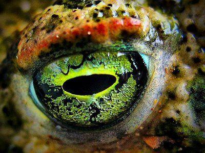 22ff7770465dcb1f18de589a52d9a72c--frog-eye-wild-eyes.jpg