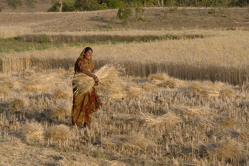 800px-Woman_harvesting_wheat,_Raisen_district,_Madhya_Pradesh,_India.jpg