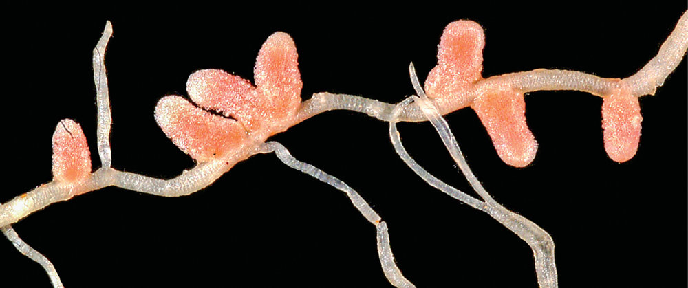 NODULES IN THE ROOT SYSTEM ALLOW FOR FREE NITROGEN TO BE FIXED SO THAT IT CAN BE USED BY PLANTS