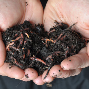 composting-worms.jpg