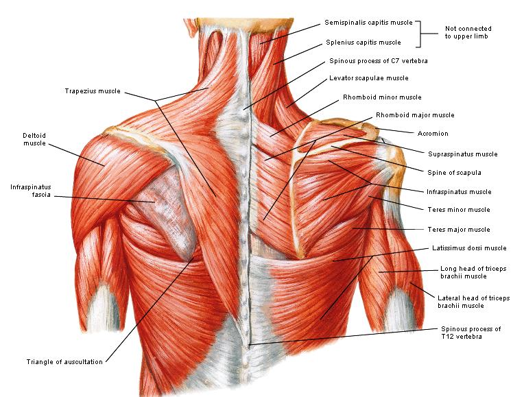 Posterior Shoulder
