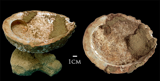 Figure 2. Blombos Cave ochre processing toolkit included this shell of  Haliotis midae  with pigment in it. (https://en.wikipedia.org/wiki/Blombos_Cave)