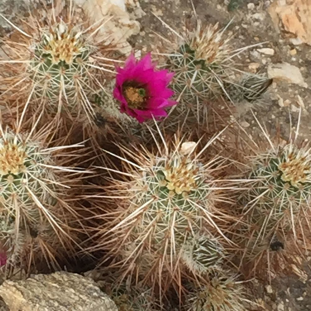 Flowering Barrel Cactus...colors are so bright against the dry dusty land, as if in technicolor!