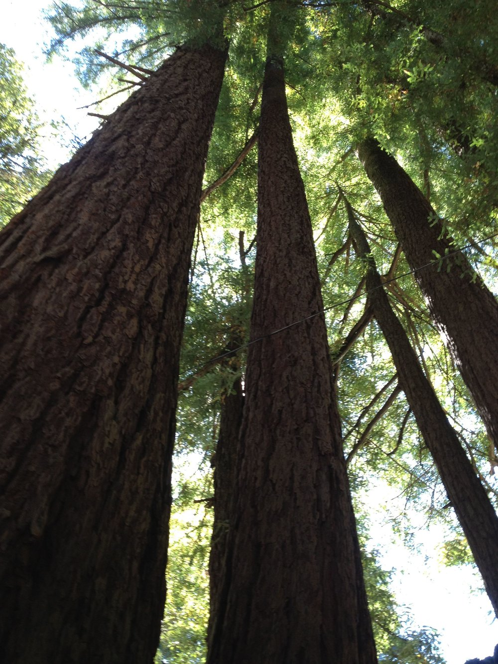 redwood trees.jpg
