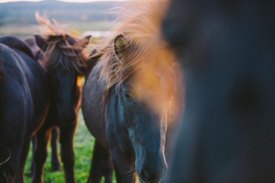 Icelandic horses-5084.jpg