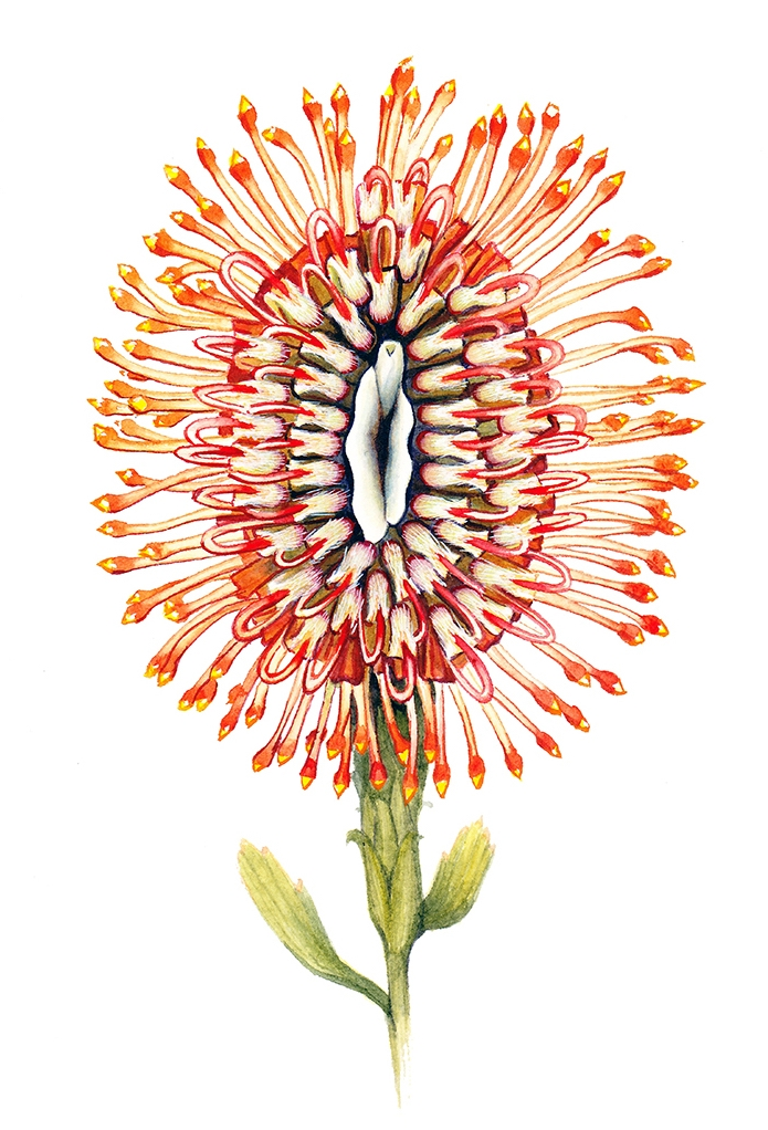 """Needle Flame"" Pussyflower, watercolor on paper 2017"