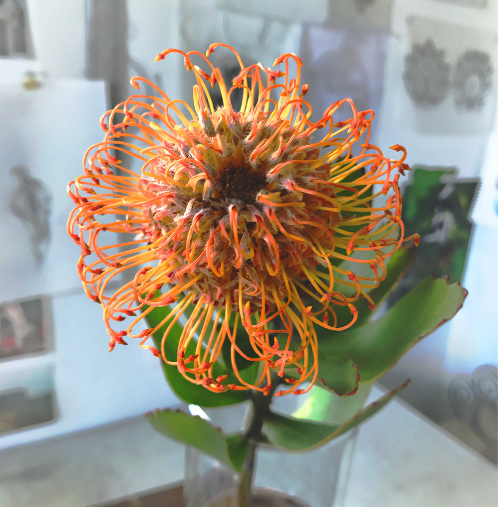 Happy Protea blossom in the studio