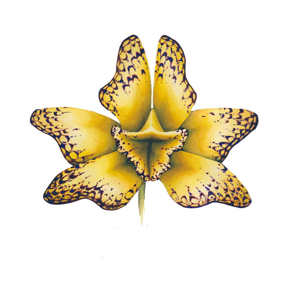 butteryflypussyflower.jpg