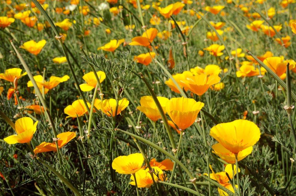 yellow flower field.jpg