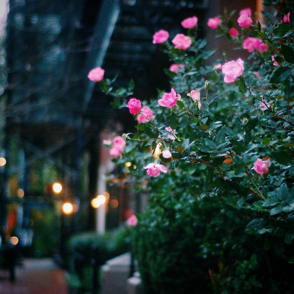 roses-boston.JPG