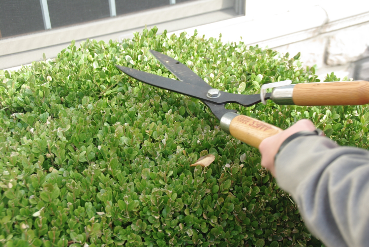 pruneboxwood